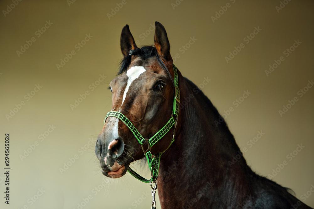 Fototapeta Dressage race horse portrait indoor stable