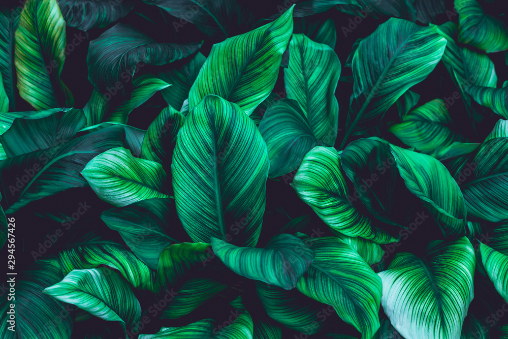 Fototapeta leaves of Spathiphyllum cannifolium, abstract green texture, nature dark  tone background, tropical leaf