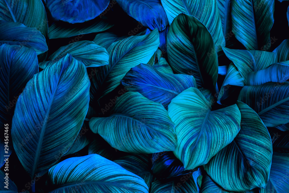 leaves of Spathiphyllum cannifolium in the garden, abstract green texture, nature dark tone background, tropical leaf