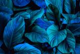 liście Spathiphyllum cannifolium w ogrodzie, abstrakcyjna zielona tekstura, natura ciemne tło, tropikalny liść