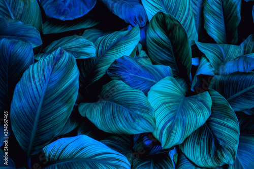 leaves of Spathiphyllum cannifolium, abstract green texture, nature background, tropical leaf #294567465