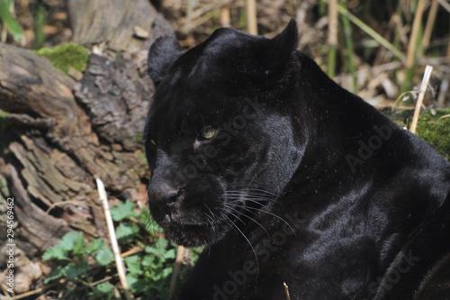 Poster Panter Jaguar (Panthera onca) mit schwarzem Fell