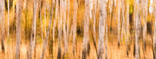 Beautiful Autumn Landscape In Impressionist Style - Blurry Trunks Of Birches On A Yellow Background