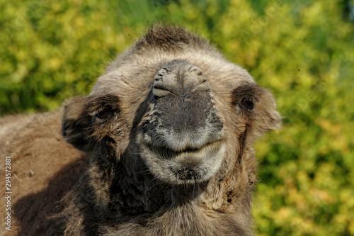 Foto auf Gartenposter Kameel Camel - Kameel