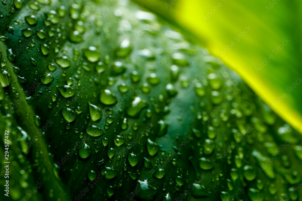 Fototapety, obrazy: Water droplets on the green leaves after raining for natural background.