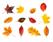 Collection Set Of Various Autumn Leaves Isolated On White Background. Colorful Autumn Foliage