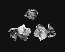 Fleurs : Trois Roses
