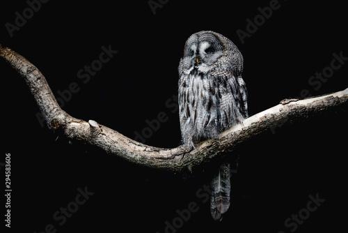 Foto auf Gartenposter Eulen cartoon Ural Owl sitting on a tree branch
