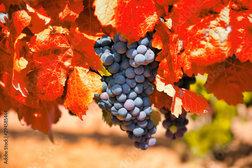 Bunch of grapes with red leaves in autumn. Autumn vineyard