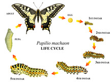Common Yellow Swallowtail (Old World Swallowtail), Papilio Machaon (Lepidoptera: Papilionidae). Life Cycle. Isolated On A White Background