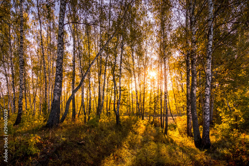 Sunrise in a birch forest on a sunny autumn morning with fog.