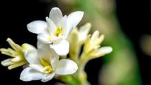Isolated Close Up Tuberose Flower