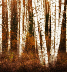 Panel Szklany Podświetlane Brzoza silver birches