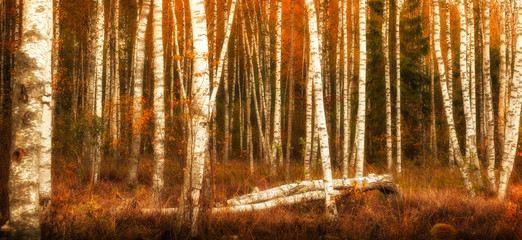 Fototapeta Brzoza autumn birches