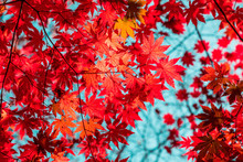 Autumn Red Maple Against The Sky