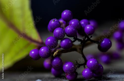 Fototapeta Callicarpa dichotoma, the purple beautyberry or early amethyst obraz