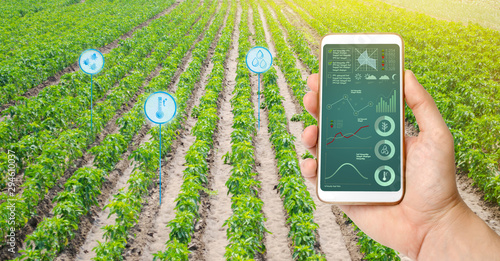 Farmer hold a smartphone on a background of a field with a pepper plantations Canvas Print