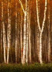 Fototapetasilver birches