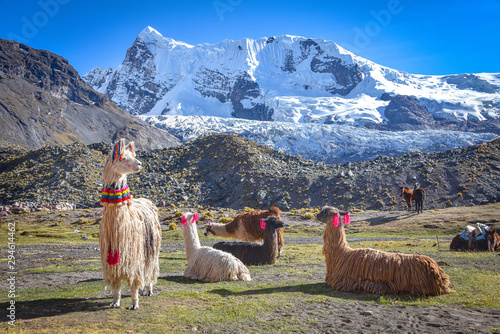 Photo Llama pack in Cordillera Vilcanota, Ausungate, Cusco, Peru