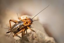 Animal Cricket In Farming On E...