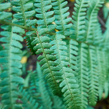 Close-up View Of A Green Fern ...