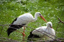 White Storks Or Ciconia Ciconia Preening Eachother In The Sunshine With Grassy Backdrop