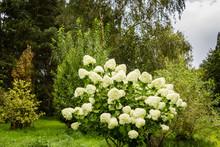Garden With White Hydrangea Fl...