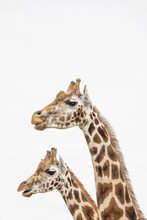 Two Giraffes With White Backgr...
