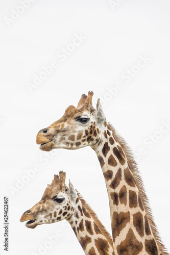 Photo  two giraffes with white background