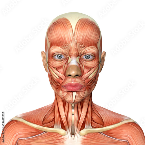 3d illustration of female head muscles anatomy Wallpaper Mural