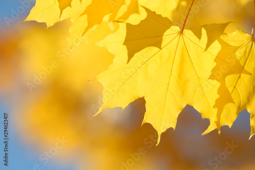 Beautiful colorful leaves in autumn forest. Red, orange, yellow, green and brown autumn leaves. Maple foliage. Seasonal background.