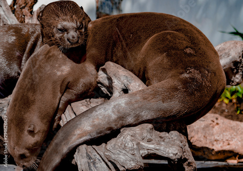 Fototapety, obrazy: Two otters sleeping close up
