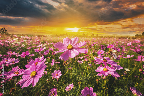 Fotografía  cosmos flower field meadow and natural scenic landscape sunset