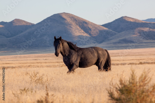 Poster Chevaux Wild Horse in the Utah Desert in Fall
