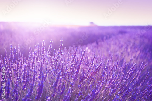 Papiers peints Lilas Blooming lavender fields at sunset in Provence, France. Beautiful summer nature background