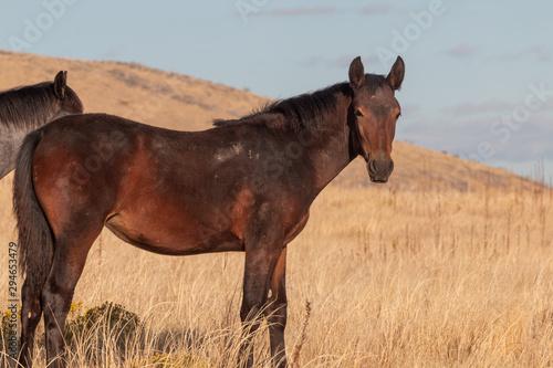 Wild Horse in the Utah Desert in Fall