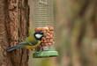 great tit on woodland birdfeeder