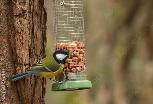 fototapeta na szkło great tit on woodland birdfeeder