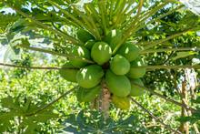 Green Papaya Fruits Of Papaya Tree In Garden In Ubud, Island Bali, Indonesia .
