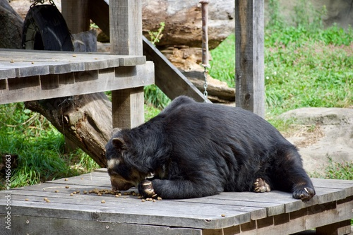 Photo Andean speckled bear eating, playing on log and wooden platform