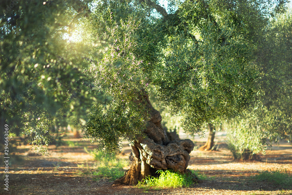 Fototapety, obrazy: Old olive tree in the sunshine. The background is blurry.