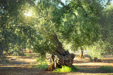 Old Olive Tree In The Sunshine...