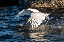 Snowy Egret Hunts For Food On The Rocks Near The Shore