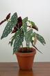 canvas print picture - Polka-Dot Begonie / Forellenbegonie / Strauchbegonie / Begonia maculata / Zimmerpflanze / Tropische Rarität / Topfpflanze
