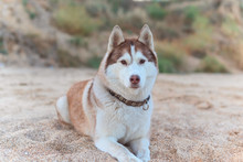 Redhead Husky Dog With Blue Eyes Lying On The Sandy Shore