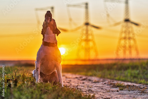 Dog Jack Russell Terrier on a sunset background.