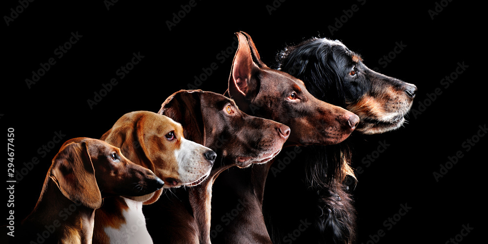 Fototapeta Group side view portrait of dog of different breeds against black background