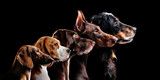 Fototapeta Dogs - Group side view portrait of dog of different breeds against black background