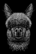 Alpaca / Llama Portrait. Graphic, Hand-drawn, Realistic, Black And White Portrait Of An Alpaca / Llama On A Black Background.