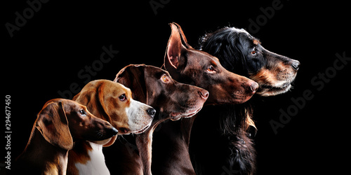 Obraz Group side view portrait of dog of different breeds against black background - fototapety do salonu